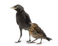 Common Blackbird and Western Jackdaw, isolated Stock Image
