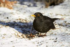 Common Blackbird in the winter Stock Photography