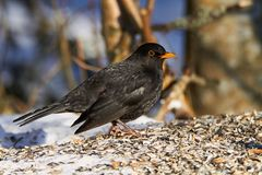 Common Blackbird in the winter Royalty Free Stock Image
