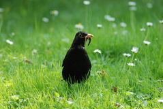 The common blackbird with worm Stock Images