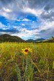 Common Blanketflower Gaillardia aristata Colorado Royalty Free Stock Photos