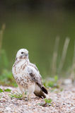 Common blonde buzzard Stock Images