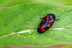 A common bloodcicada with raindrops on a peppermint leaf Royalty Free Stock Photos