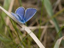 Common Blue. Butterfly sitting on the grass Royalty Free Stock Image