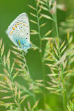 Common Blue stock photos