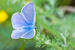 Common Blue Royalty Free Stock Photos