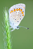 Common Blue Royalty Free Stock Photo
