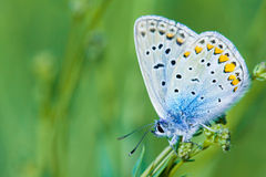 Common Blue royalty free stock image