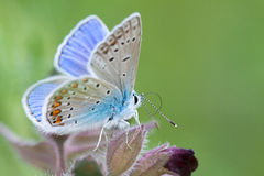 Common Blue Stock Photography