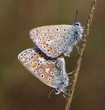 Common blue butterflies Royalty Free Stock Image