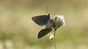Common blue butterflies couple mating stock footage