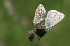 Common Blue butterflies mating Royalty Free Stock Photo