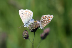 Common Blue butterflies mating - Polyommatus icarus Stock Photo