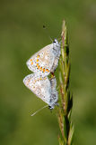 Common blue butterflies pairing Stock Photos