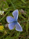 Common Blue Butterfly. On grass stem with open wings Stock Photos