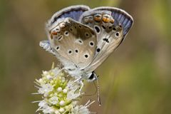 Common blue Butterfly Royalty Free Stock Photography