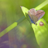 Common blue butterfly Stock Images