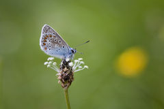 Common Blue Butterfly. A Common Blue (Polyommatus icarus ) Butterfly with it's wings closed sitting on a plant in a meadow in Somerset, UK Stock Photography