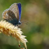 Common Blue Butterfly Basking in the Sun. Here is a common blue butterfly enjoying the British sun, basking and preparing to spread its wings to soak up the sun stock image