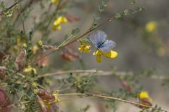 Common Blue Butterfly on a Bladder Senna Flower royalty free stock photos