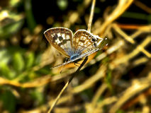Common Blue Butterfly 1 Royalty Free Stock Image