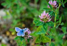 Common Blue Butterfly on Clover Flowers Royalty Free Stock Image