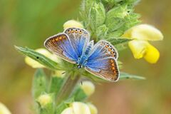 The female common blue butterfly open wings