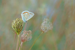 Common blue butterfly. A common blue butterfly with flowers Stock Photography