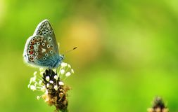 Common Blue Butterfly at Grantown on Spey Royalty Free Stock Photography