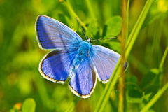 Common blue butterfly in grass. Common blue butterfly (Polyommatus icarus) hiding in the high grass Stock Photo