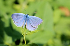 Common blue butterfly in grass stock images