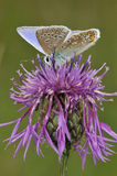 Common Blue Butterfly on Greater Knapweed Royalty Free Stock Images