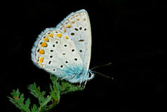 Common Blue butterfly having rest on a green leaf Royalty Free Stock Photography