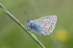 Common Blue Butterfly on Long. Grass Stem royalty free stock images