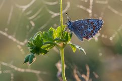 A common blue butterfly royalty free stock photos