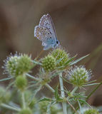 Common Blue Butterfly Royalty Free Stock Image