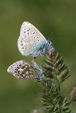 Common Blue butterfly mating Royalty Free Stock Photo