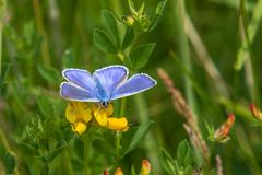 Common blue butterfly. Perched on a grass stem royalty free stock images