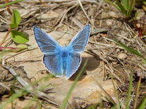 Common Blue Butterfly. This photo is of a  Common Blue Butterfly perched on a rock enjoying the sunshine. I used macro to capture the vibrant pattern on the Stock Photos