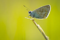 Common blue butterfly Royalty Free Stock Images