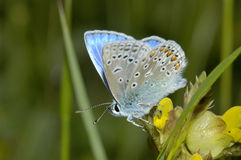 Common Blue Butterfly - Polyommatus icarus Stock Images