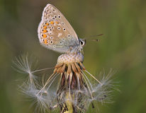Common Blue Butterfly - Polyommatus icarus stock image