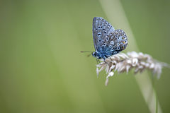 Common Blue Butterfly (Polyommatus icarus) Royalty Free Stock Photos