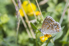Common Blue Butterfly (Polyommatus icarus) Stock Photos