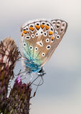 Common Blue butterfly (Polyommatus icarus) Royalty Free Stock Image