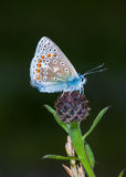 Common Blue butterfly (Polyommatus icarus) Royalty Free Stock Photography