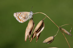 Common blue butterfly, Polyommatus icarus Royalty Free Stock Photos