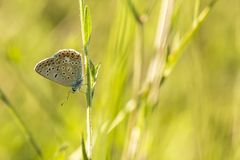 Common Blue butterfly, Polyommatus icarus. Close up of a  Common Blue butterfly, Polyommatus icarus, resting on vegetation in sunlight during daytime in Summer Royalty Free Stock Photo