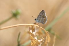 Common Blue butterfly, Polyommatus icarus. Close up of a  Common Blue butterfly, Polyommatus icarus, resting on vegetation in sunlight during daytime in Summer Royalty Free Stock Image