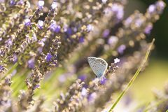 Common Blue butterfly, Polyommatus icarus. Close up of a  Common Blue butterfly, Polyommatus icarus, resting on vegetation in sunlight during daytime in Summer Royalty Free Stock Photography